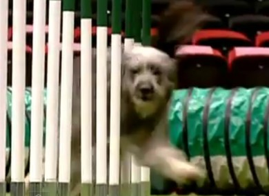 Winnie - aka 'Hairy Havoc' - rounds the bars during her time trial at the Crufts dog show over the weekend.