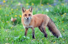 Animal rights groups condemn 'brutal attack' on fox in Laois