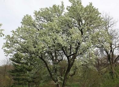 smell bad pear tree trees bradford york