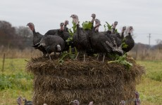 VIDEO: Turkey farm gets ready for Christmas