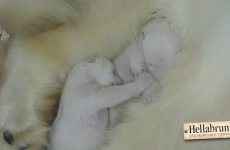 Newborn polar bear twins enjoy a heart-melting snuggle