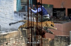 A leopard escaped in India and went to the cinema