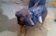 Taliban capture US Military sniffer dog, insist he is 'alive and well'