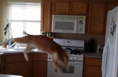 Cat makes a right mess of jumping on to the fridge