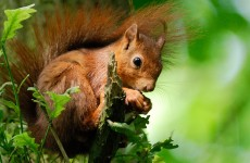 "Pine martens could be helping the red squirrel make a comeback, but we need ""continued research"""